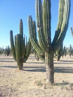 Cactus en San Carlos