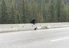 """Mama bear coming to rescue her too-curious baby, who flipped over to the wrong side of a highway divider.  Just too cute.  I'll bet the other baby is sitting on the """"safe"""" side looking like the good kid."""