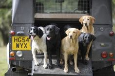 Labradors or spaniels - which breed picks-up best? © Bob Atkins