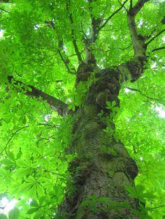 Chestnut tree bursting with spring green.