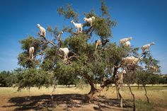 DO GOATS GROW ON TREES? by Michael Chinnici Morocco is a magical, mystical and romantic country. Snake charmers, dessert camel rides, chaotic Medina's and more, all make Morocco such a unique country to experience through photograph. While traveling through southwestern Morocco on a recent Photo Adventure, I came across one of the most unusual sights.…