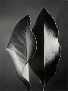 'Two Leaves' by German-born American photographer Ruth Bernhard Selenium-toned gelatin silver print. via Peter Fetterman Gallery Leaf Photography, Still Life Photography, Tachisme, Image Nature, White Aesthetic, Natural Forms, Shades Of Black, Light And Shadow, Black And White Photography