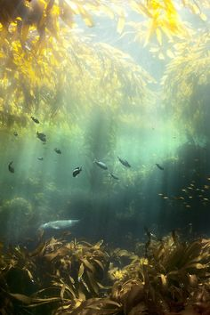 seal in the kelp forest off the coast of santa cruz island | marine animal + underwater photography