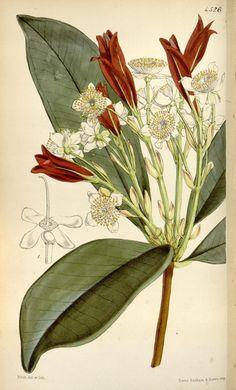 Eugenia Brasiliensis
