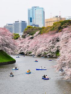 Hanami in the moat, Tokyo, Japan. photo by Jacob Ehnmark. via ehnmark on flickr  Cherry blossoms blooming around the moat that surrounds the Imperial Palace in Tokyo.