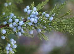 Juniper strengthens our organism Check more at https://healthiestfoodchoice.com/juniper-strengthens-our-organism/