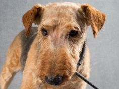 Adopt Oliver, a lovely 8 years Dog available for adoption at Petango.com.  Oliver is a Terrier, Welsh and is available at the National Mill Dog Rescue in Colorado Springs, Co. www.milldogrescue... #adoptdontshop #puppymilldog #rescue #adoptyourfriendtoday