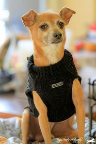 Cute Muttville mutt: Sampson 1947 (Italian greyhound mix | Male | Size: small (6-20 lbs))