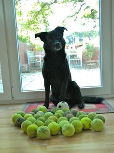 Fritzi loves to collect balls from a nearby tennis court! So cute. New Hobbies, Tennis Players, Balls, Collections, Puppies, Pets, Animals, Vintage, Cubs