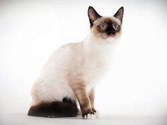Cat Breed Photo Gallery: Animal Planet  Snowshoe