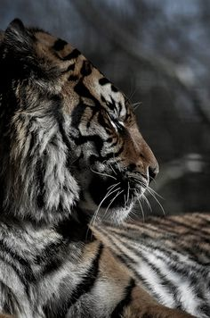 Tiger tiger All the baby animals! ~Say NO to zoos and animal circuses~keep wild animals wild. I Love Cats, Big Cats, Cats And Kittens, Beautiful Cats, Animals Beautiful, Cute Animals, Wild Animals, Baby Animals, Lion Tigre