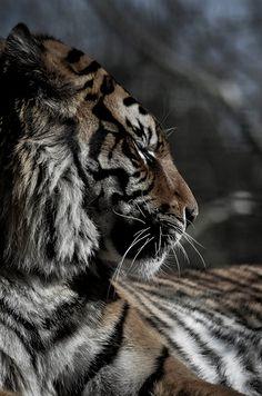 tiger. such a pretty picture