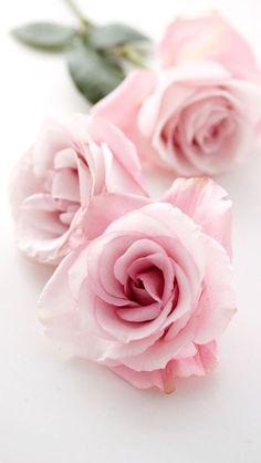 iPhone wallpaper roses