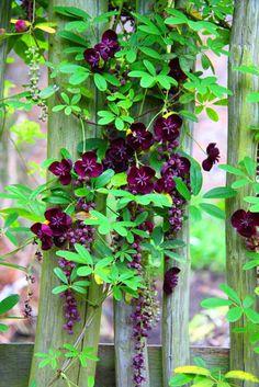 2 pcs climbing clematis bulbs,clematis tree bulbs Garden plants, perennial planting rare flower bulbs for flower pot