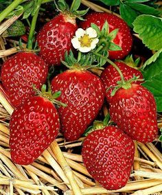 Strawberries 'Korona' (Fragaria x ananassa 'Korona'). An early variety with two special features: large fruit and excellent taste. The fruits are as large as eggs. The fruit yield is high. Strawberry Fruit, Strawberry Fields, Red Fruit, Fruit Art, Fruit And Veg, Fruits And Vegetables, Image Fruit, Fruits Images, Fruit Photography