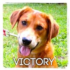 VICTORY 'loves other dogs' is an adoptable Labrador Retriever Dog in Feasterville, PA.    07/25/13 Meet Victory! This five month old retriever pup is hoping to fulfill such an ambitious name. But she ...