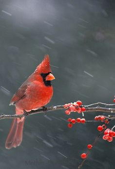 Male northern cardinal, Cardinal cardinalis, in winter perched on branch of holly in falling snow, Missouri USA