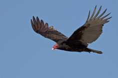 Birds of Prey - The Turkey Vulture