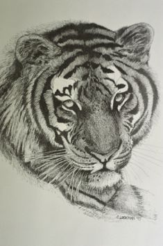 Print of Tiger Original Drawing