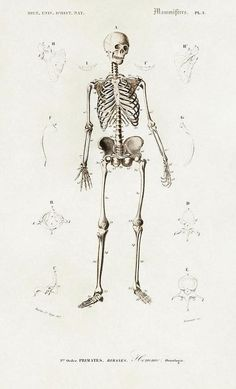 Antique Illustration of Human Skeleton, 1870 - Art Print - 7.250 x 12.000 / Picture Rag