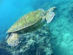 sea turtle from behind - Google Search