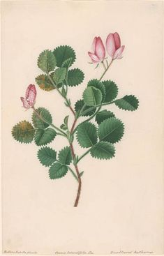 heaveninawildflower:  Ononis Rotundifolia ( Round-leaved...