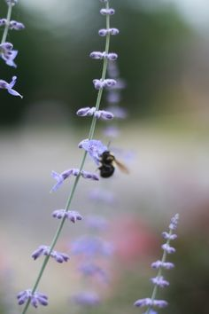 Bees luv Russian Sage