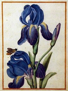 Jacques Le Moyne : Blue Iris with Fly