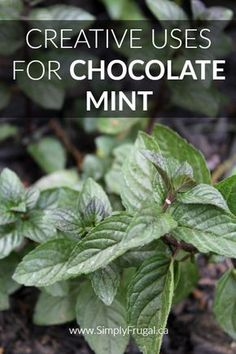 7 Creative Uses for Chocolate Mint Chocolate mint smells just like the name suggests, like minty chocolate! If you grow chocolate mint or are considering it, take a look at these creative uses for chocolate mint you must try! Mint Plant Uses, Mint Plants, Growing Mint, Growing Herbs, Growing Gardens, Mint Recipes, Herb Recipes, Healing Herbs, Medicinal Plants