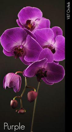 Purple phalaenopsis orchids