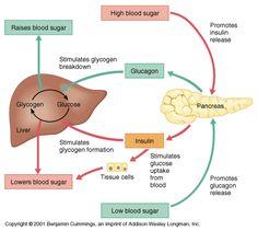 blood sugar insulin cycle