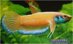 Beta Fish, Siamese Fighting Fish, Guppy, Colorful Fish, Aquariums, Ponds, Aquarium Fish, Fish Tank, Fresh Water