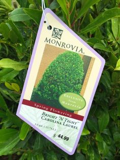 "Carolina Laurel aka American Cherry Laurel or Wild Mock Orange - Prunus caroliniana ""monus"". One of the best shrubs for screening with very shiny deep evergreen leaves and showy white flowers in spring."