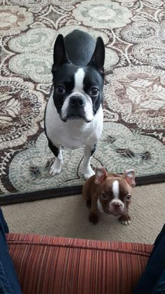 The Boston Terrier breed originated in Boston and is one of the few breeds that are native to the U. In the an inter-mixing of English Bulldogs Terrier Breeds, Terrier Puppies, Dog Breeds, Dogs And Puppies, Doggies, Boston Terrier Love, Boston Terriers, I Love Dogs, Cute Dogs