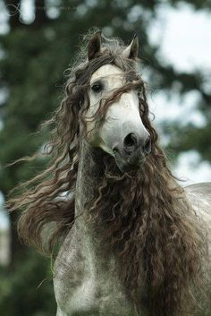 I adore Andalusians !!! That mane !!! <3