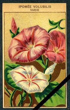 Antique French Seed Pack Label 1920's Flower Botanical Ipomee Volubilis 25   eBay