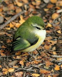Tītipounamu / Rifleman (Acanthisitta chloris) - photo by 4Crewe