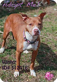 Camden, DE - American Pit Bull Terrier Mix. Meet Winter, a dog for adoption. http://www.adoptapet.com/pet/12074805-camden-delaware-american-pit-bull-terrier-mix