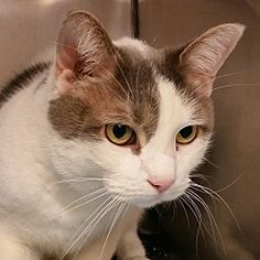 URGENT! I am at a kill shelter in Troy, Ohio - Domestic Shorthair. Meet Snowball, a for adoption. https://www.adoptapet.com/pet/20255818-troy-ohio-cat