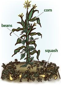 The ancient Native American technique of growing Corn, Beans, and Squash together in an arrangement called the Three Sisters is the ultimate in companion planting and helps increase harvests, naturally!
