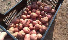 Gran #cosecha de #patatas que nos manda Susana cosechadas en su #huerto urbano. www.ecobrotes.es