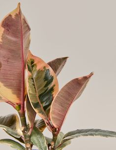 Ficus Elastica, Easy Care Plants, Plant Care, Trees To Plant, Plant Leaves, Plant Delivery, Zz Plant, Rubber Tree, Variegated Plants