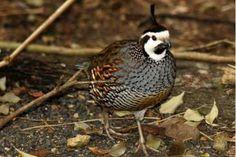 Beautiful spot-bellied bobwhite-California quail hybird