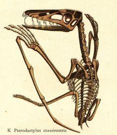 """Pterodactylus crassirostris 1888 From """"Naturgeschichte Geologie und Paläontologie"""" (1888)."""