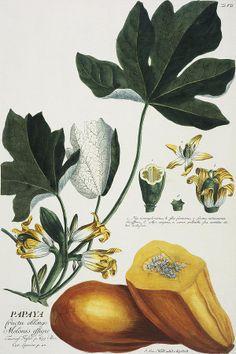 Papaya (Carica papaya) (hand-coloured engraving) by Georg Dionysius Ehret