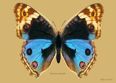 Blue Pansy Butterfly Digital Art - Blue Pansy Butterfly by Walter Colvin