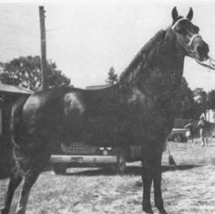 Reg. No.: 11500 UVM COLFIELD  Sire: 10016 STANFIELD Dam: 05918 MARIONETTE  Sex: Stallion  Color: Chestnut Foaled: 05-27-1955  Color Totals: B: 6  BlCh: 19  Sex Totals: Stal.: 5  Mares: 13  Geld.: 7 Gr. Total: 25  Breeder: Vermont Agricultural College  Foaled: 05-27-1955, Middlebury, Vermont.