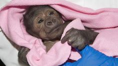 One Little Gorilla's Story by San Diego Zoo Global Wildlife Conservancy