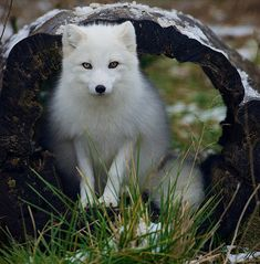 Arctic Fox!!