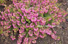 Schneeheide, Winterheide (Erica carnea) - hardy, winter-blooming